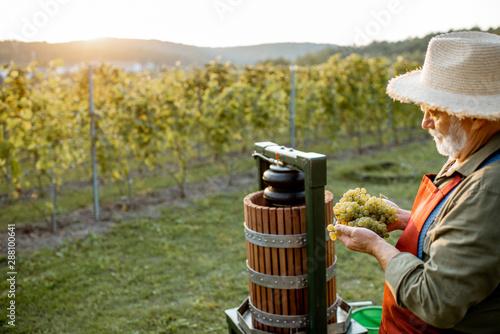 Fotografija Senior winemaker holding freshly picked up grapes ready to put into the winepres