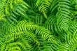 fern plants closeup