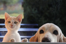 Red Kitten And Dog Looking Out...