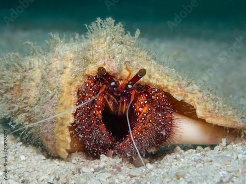 Obraz na plátne hermit crab