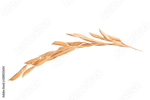 Paddy rice on white background. ears of paddy rice Fototapeta
