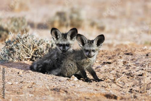 Bat-eared fox puppies at its den staring into the camera close-up. Kgalagadi, South Africa