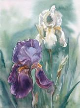 Watercolor: White And Purple Irises