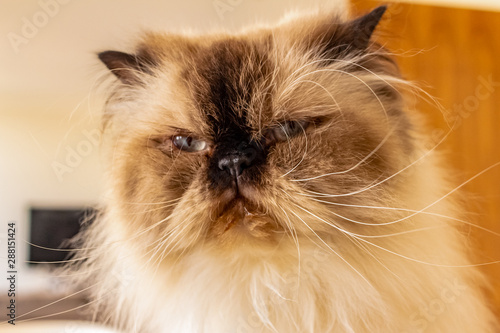 Portrait Of Long Haired Blue Eyed Seal Point Himalayan Cat