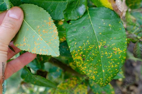 Fototapeta Rust fungus, caused by Phragmidium fungus affectes rose leaves. Close up. obraz