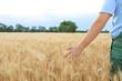 canvas print picture - Male farmer in wheat field