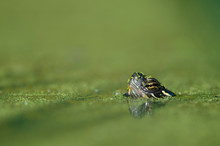 Turtle Peeking From Water