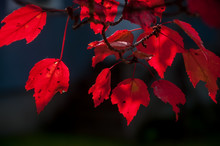 Branches Of Red Maple   On The Dark Background. Autumn Natural Background.