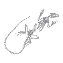 Iguana  Lizard Skeleton And Skull. Stylized Drawing Of Lizard Bones. Decorative Drawn Skeleton. Witchcraft, Voodoo Magic Attribute. Illustration For Halloween. Vector