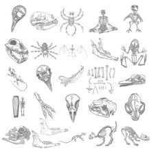 Magic Animal Bones Design Elements Set. Hand Drawn Sketch For Magician Collection. Witchcraft Spell Symbols, Bird Raven, Chicken, Wolf Or Dog Jaw, Vampire Bat, Rat Or Mouse, Spider Skeleton. Vector.