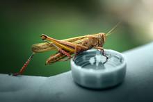 Large Bright Colored Grasshopp...