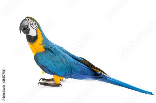 La pose en embrasure Perroquets ara ararauna in studio