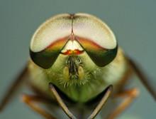 Extreme Marco Short Horsefly, ...