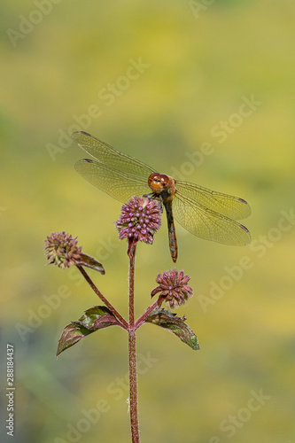 Valokuvatapetti Male red veined darter dragonfly (sympetrum fonscolombii) on purple thistle flow
