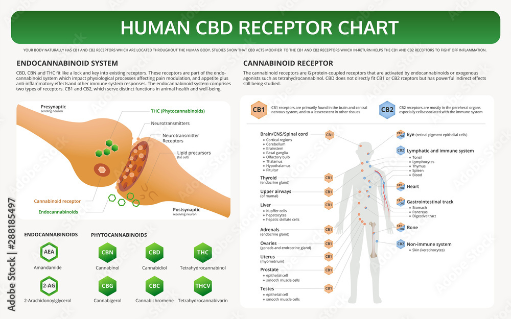 Fototapety, obrazy: Human CBD Receptor Chart horizontal textbook infographic illustration about cannabis as herbal alternative medicine and chemical therapy, healthcare and medical science vector.