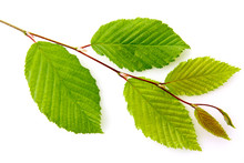 Green Beech Leaves On Branch I...