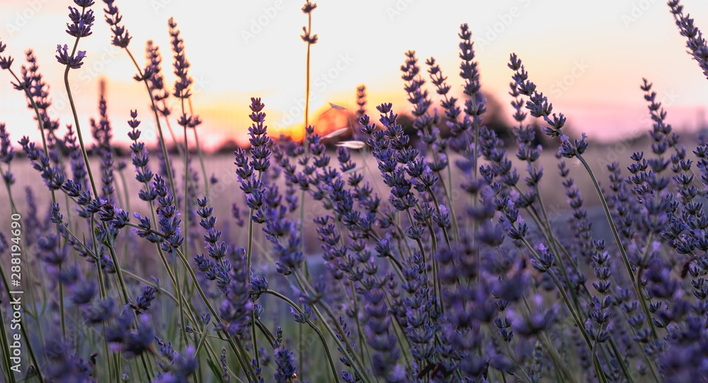 Fototapety, obrazy: lavender flower at sunset near a wheat field