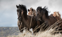 A Cantering Group Of Icelandic Horses.