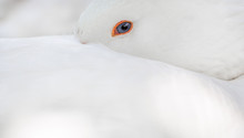 Close-up Of A White Goose