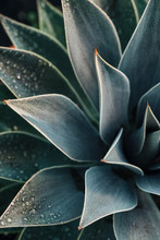A Stunning Blue Agave Plant After An Autumn Rain