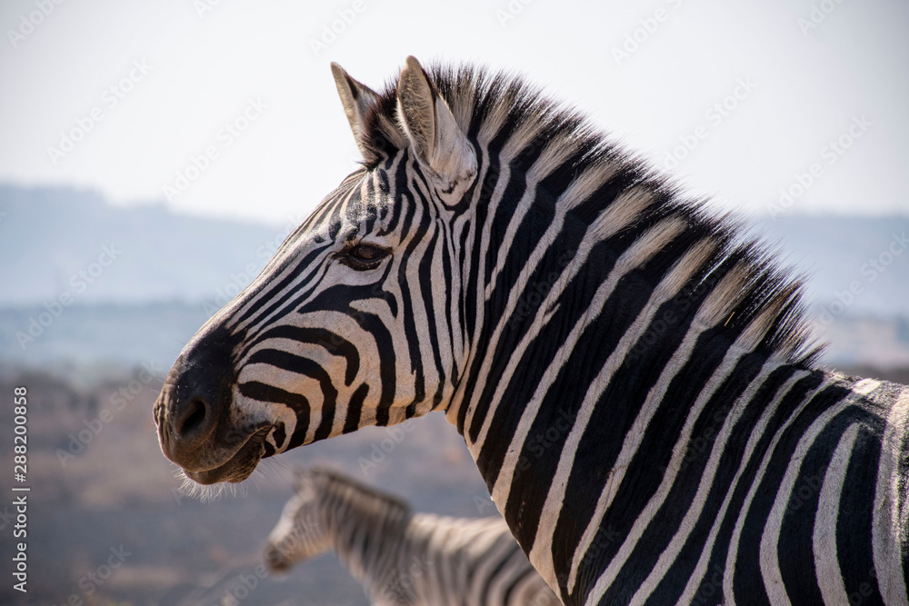 Fototapety, obrazy: close up of zebra