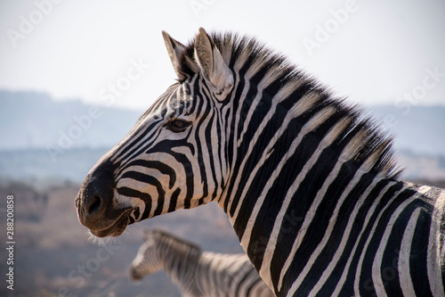 Tuinposter Zebra close up of zebra