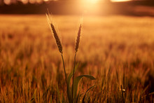 Wheat Crop At Sunset