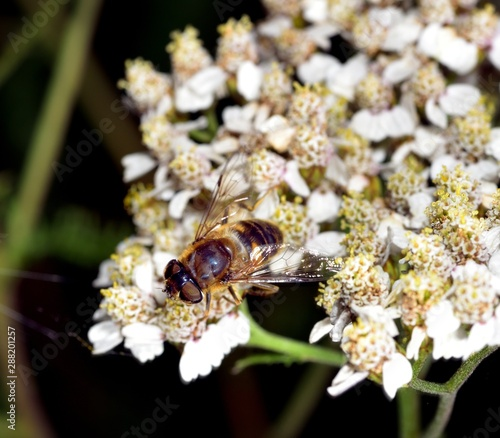 Hoverfly nectar feeding on a white flower Canvas Print