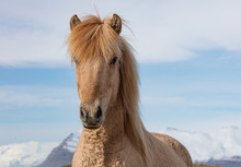 An Icelandic Horse In The Moun...