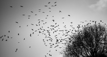 A Flock Of Birds Rising From A...