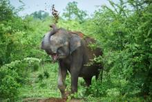 Portrait Of Indian Elephant Throwing Soil On His Back, Udawalawe National Park, Sri Lanka