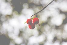 Strawberry Tree (arbutus) Matu...