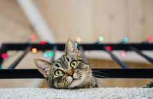 Tabby With Colorful Lights Above Her