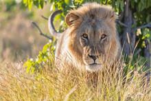 Africa, Namibia, Etosha National Park, Male Lion, Panthera Leo