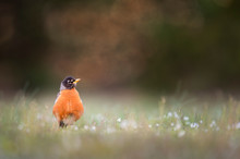 An American Robin Stands Up Ta...