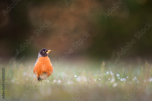 Photo  An American Robin stands up tall in low grass in soft sunny light with a smooth foreground and background