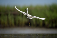 A White Snowy Egret Flies Over Shallow Water In A Marsh With A Green Grass Background In Soft Overcast Light.
