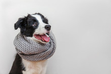 Funny Studio Portrait Of Cute Smilling Puppy Dog Border Collie Wearing Warm Clothes Scarf Around Neck Isolated On White Background. Winter Or Autumn Portrait Of New Lovely Member Of Family Little Dog