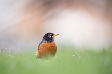 An American Robin Stands In Bright Green Grass With A Light White Background.