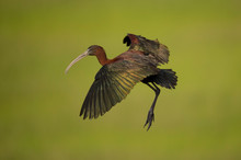 A Glossy Ibis Flies In Front Of A Smooth Green Background Of Marsh Grasses In The Early Morning Sunlight.