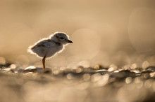 A Cute Piping Plover Chick Glows In The Bright Sun On A Sandy Beach.