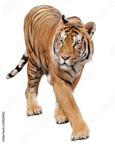 Photo sur Toile Tigre Tiger walking and looking around isolated on white background