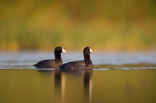 A Pair Of American Coots Swim In The Calm Water Early In The Morning With A Smooth Foreground And Background.