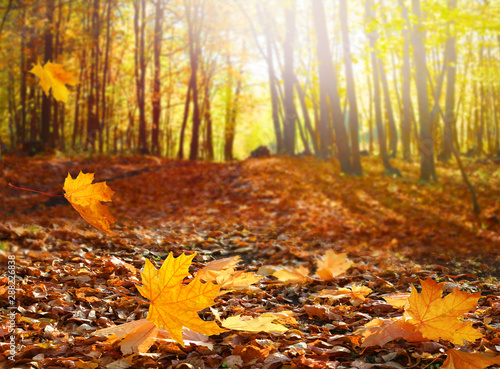 Photo sur Toile Jaune de seuffre Beautiful autumn landscape with yellow trees and sun. Colorful foliage in the park. Falling leaves natural background .Autumn season concept