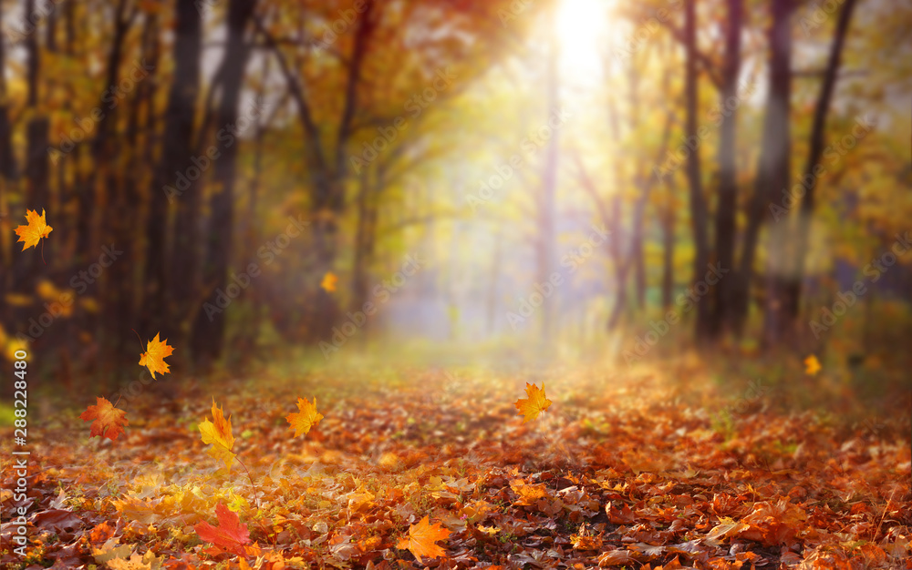 Fototapety, obrazy: Beautiful autumn landscape with yellow trees and sun. Colorful foliage in the park. Falling  leaves natural background .Autumn season concept