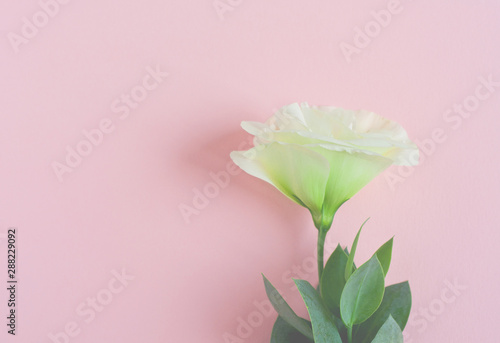 Wall Murals Lily of the valley Beautiful purple and white eustoma flower (lisianthus) in full bloom with green leaves.
