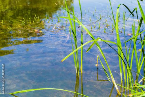 Fototapeta  Sedge and water