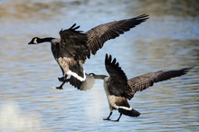 Two Canada Geese Landing In Th...