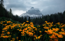 Colorful Landscape Of Bright Flowers On Lush Meadow Surrounded By Dense Dark Forest And Snowy Mountains Drowning In Cloudy Mist In Dolomites Italy