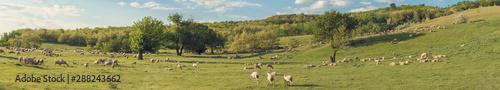 Fotografía Sheep and goats graze on green grass in spring